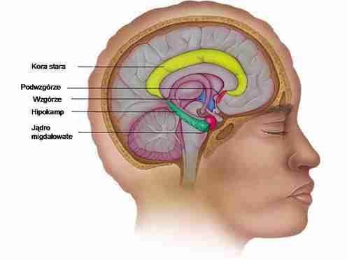 uklad-limbiczny-male